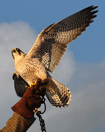 About : Raphael Historic Falconry